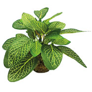 Decorazione Fittonia M 224969